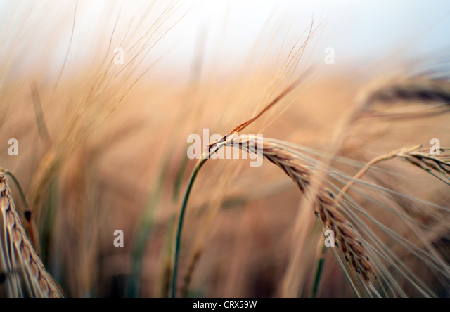 Wheat field at sunset in Spain - Stock Image