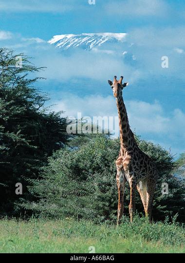 Masai Giraffe and snow dome of Mountain Kilimanjaro Amboseli National Park Kenya East Africa - Stock Image