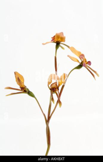 Donkey Orchid (Diuris longifolia) flowers, white background, Mount Barker, Western Australia, October - Stock Image