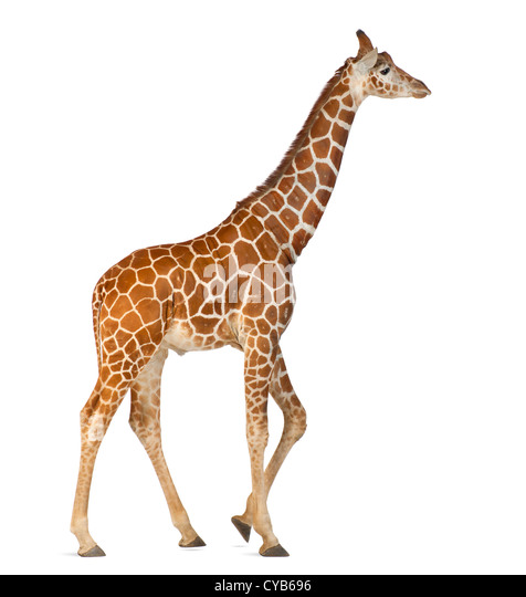 Somali Giraffe, known as Reticulated Giraffe, Giraffa camelopardalis reticulata, 2.5 years old, against white background - Stock Image