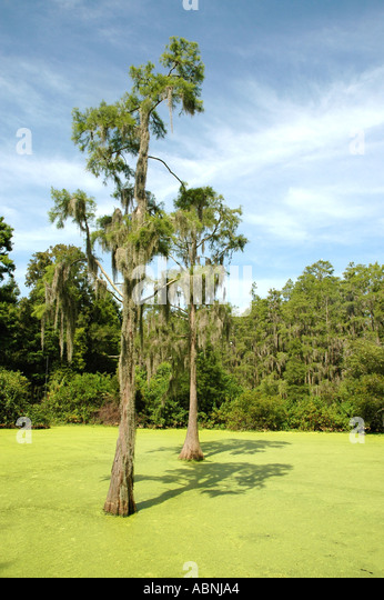 Tarpon Springs Florida Westin Innisbrook Resort Nature Trail through Cypress Swamp Duckweed in pond - Stock Image