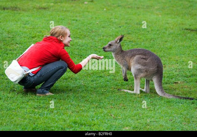 Kangaroo feeding - Stock Image