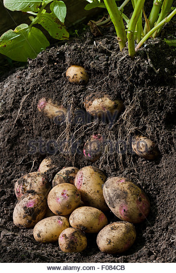 harvesting digging Potato 'Picasso' - Stock Image