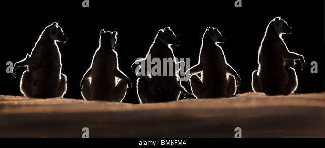 Ring-tailed Lemurs sun basking at dawn, Berenty Private Reserve, southern Madagascar - Stock Image