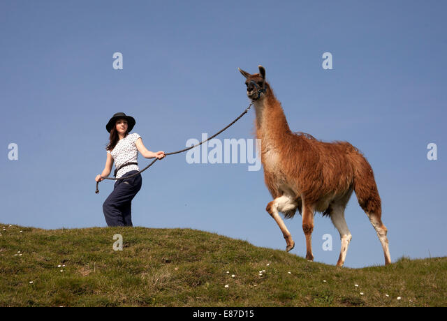 Leading llama on hilltop - Stock Image