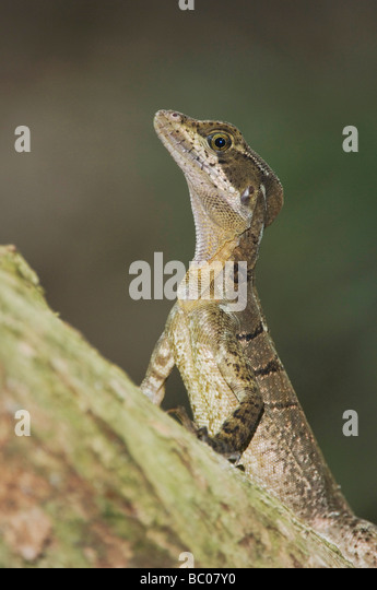 Common Basilisk Lizard Stock Photos & Common Basilisk ...