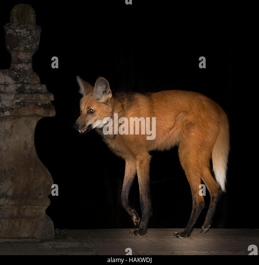 Maned Wolf on Monastery steps at night - Stock Image
