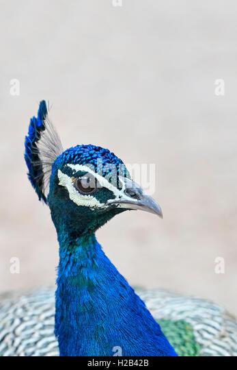 Blauer Pfau (Pavo cristatus), Ranthambhore-Tigerreservat, Rajasthan, Indien. - Stock-Bilder