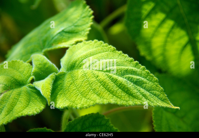Green leaves of the Salvia dorisiana that are covered in hairs whose glands release a pineapple-grapefruit scent. - Stock Image