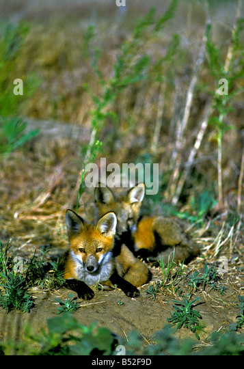 Young Red Foxes (Vulpes vulpes) near den, Colorado US - Stock Image