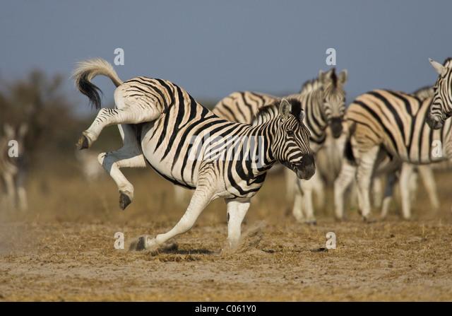 Zebra kicking, Etosha National Park, Namibia. - Stock-Bilder
