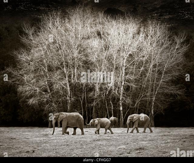 Three African elephants walking, Cabarceno, Spain - Stock-Bilder
