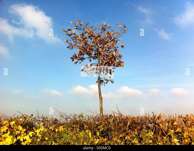 Great Britain England Essex Single tree above hedge Autumn leaves cloudy blue sky - Stock Image