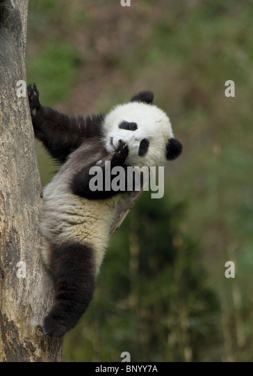 A young panda cub uses a tree branch as a back rest, Sichuan, China - Stock Image