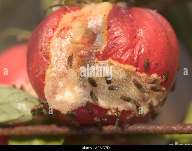 fruit flies wiki tomato a fruit