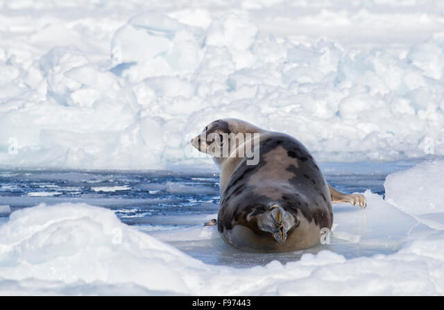 Harp seal (Pagophilus groenlandicus), female, on sea ice beside open lead, Gulf of St. Lawrence, near Îles - Stock Image