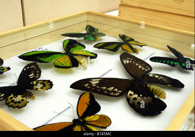 Lepidoptera collection in the lab of Cibinong Science Center, Indonesia - Stock Image