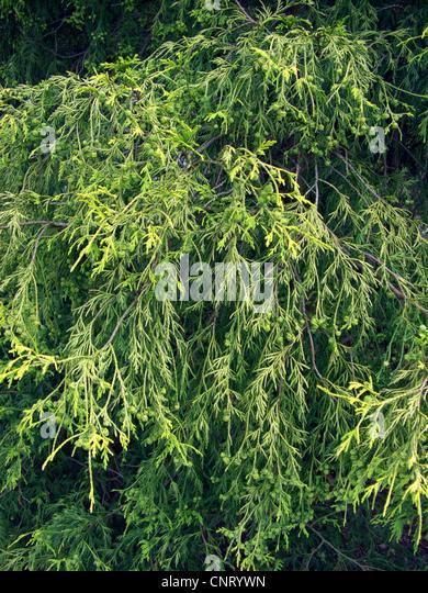 sawara falsecypress (Chamaecyparis pisifera 'Filifera Aurea', Chamaecyparis pisifera Filifera Aurea, Chamaecyparis - Stock Image