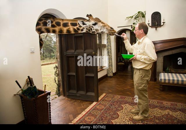 Man at Giraffe Manor in Nairobi, Kenya feeding a giraffe sticking its head through the open doorway into the house - Stock Image
