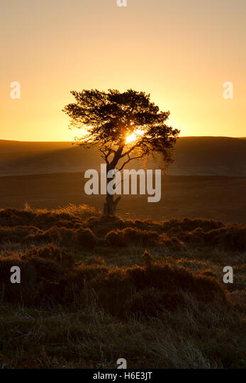 Golden glowing sunrise over Westerdale Moor in the North York Moors national park with a Scots pine tree in silhouette - Stock Image
