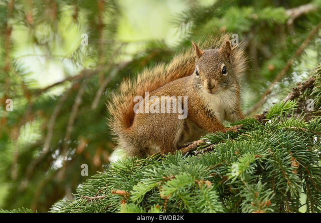 A wild Red Squirrel  Tamiasciurus hudsonicus, sitting on a tree branch - Stock Image
