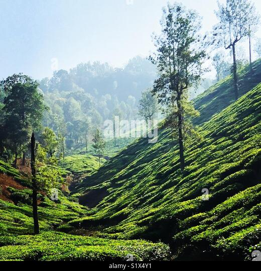 A tea estate view at Horanadu - Stock Image