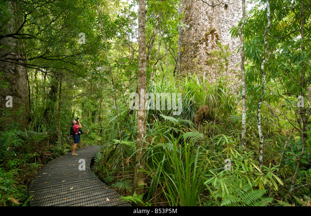 Tourist looking at a Kauri tree in the Waipoua Kauri Forest, North Island, New Zealand - Stock Image