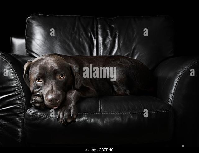 Chocolate Labrador Sat on Leather Armchair - Stock Image