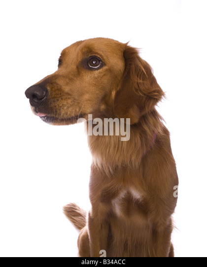 Bashful Golden Retriever dog isolated on white background - Stock Image