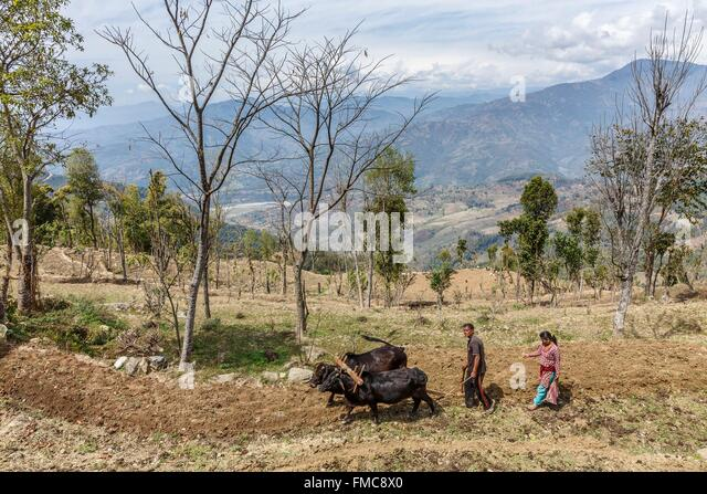 Nepal, Gandaki zone, Gorkha, a couple plowing a field with oxes - Stock Image
