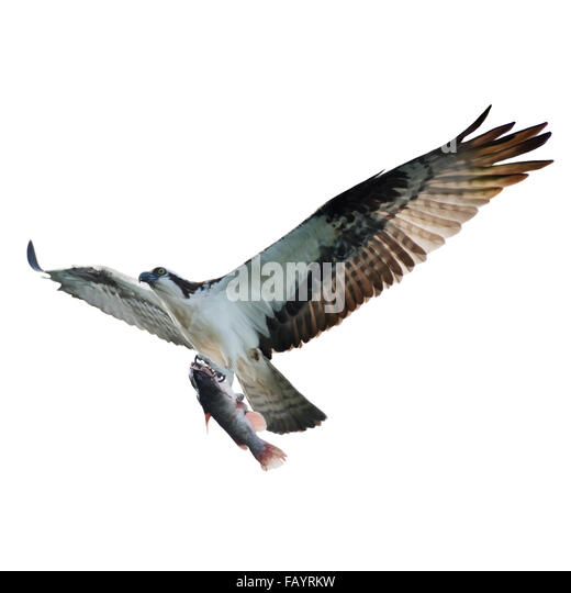 Digital Painting of Osprey with Fish in Flight,isolated on white - Stock-Bilder