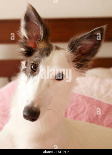 puppy on bed - Stock Image