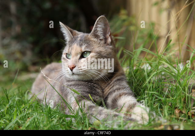 rare 'silver classic' tortoiseshell tabby cat suns herself in the garden - Stock Image