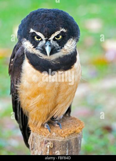 Spectacled Owl - Stock-Bilder