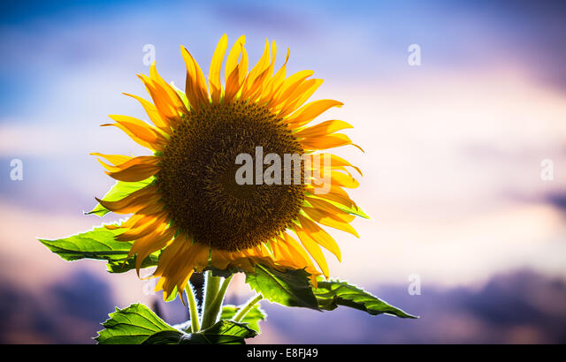 Japan, Okinawa, Backlit sunflower with sunset - Stock-Bilder