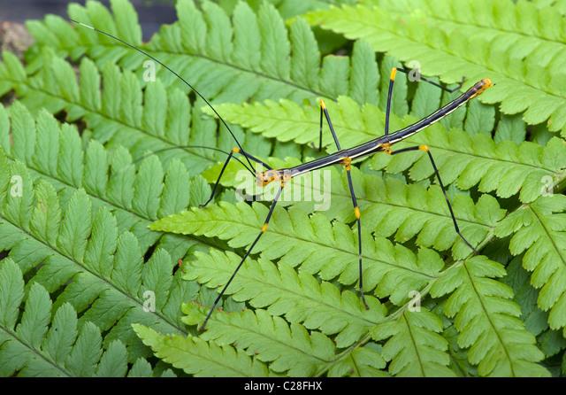 Peruvian Fern Stick Insect (Oreophoetes peruana) on a fern frond. - Stock-Bilder