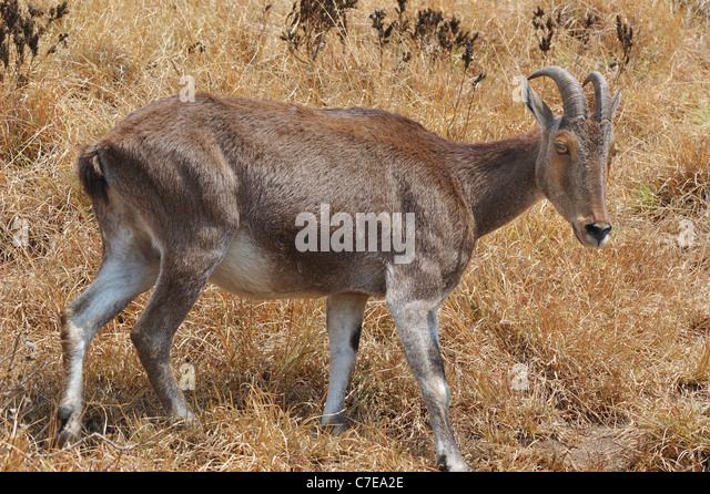 Rare Nilgiri Tahr (Hemitragus hylocrius) Mountain Goat in the Western Ghats, Southern India. - Stock-Bilder