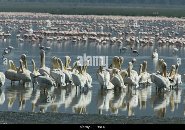 Flock of Great White Pelicans (Pelecanus onocrotalus), Lake Nakuru, Kenya, Africa - Stock Image