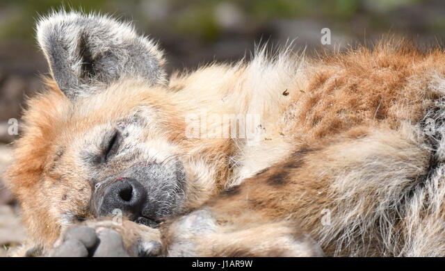 Berlin, Germany. 19th Apr, 2017. A spotted hyaena, also known as laughing hyaena, enjoys the sun in its enclosure - Stock Image