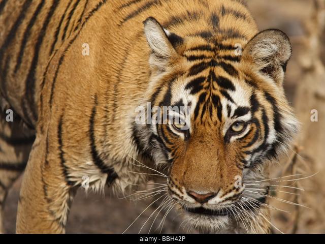Bengal tiger (Panthera tigris tigris) stalking through the bush in Ranthambore National Park Rajasthan India - Stock-Bilder