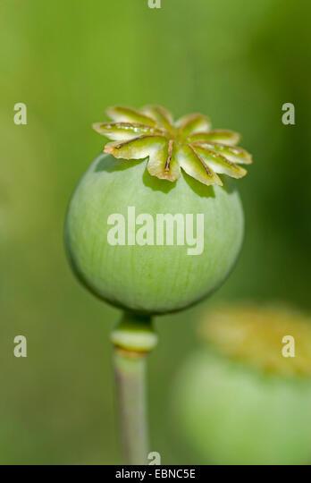 Capsules Fruit Botany ...
