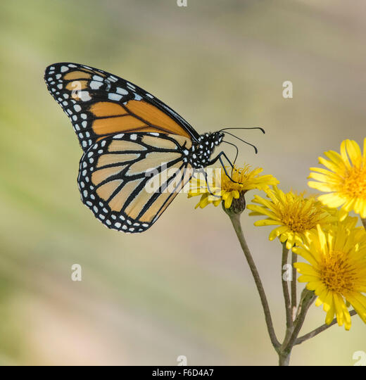 Monarch butterfly (Danaus plexippus) on Yellow Flowers - Stock Image