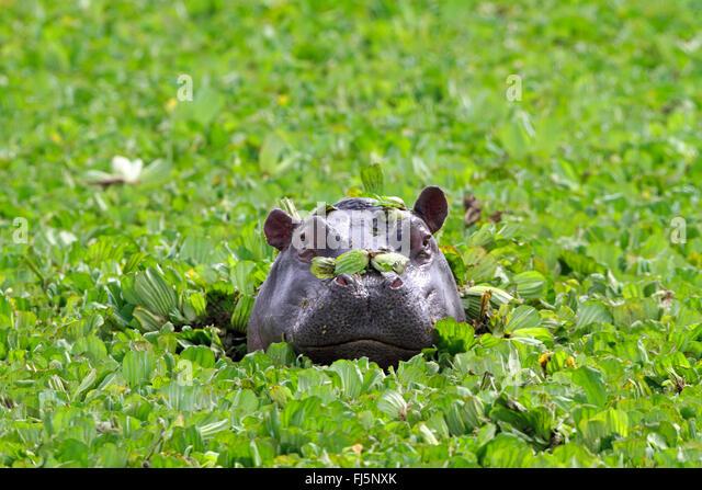 hippopotamus, hippo, Common hippopotamus (Hippopotamus amphibius), looking out water cabbages, portrait, Kenya, - Stock-Bilder