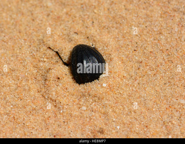 Beetle digging in the sand - Stock Image