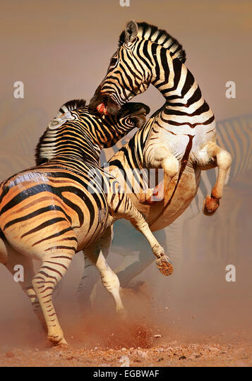 Stallions (Equus burchell's) fighting and standing on hind legs -  Etosha (Namibia) - Stock Image