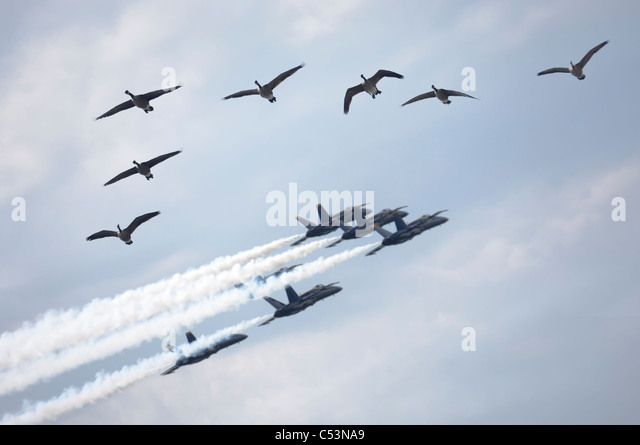 Flock of Canada geese and a formation of jet planes flying by during air show - Stock Image