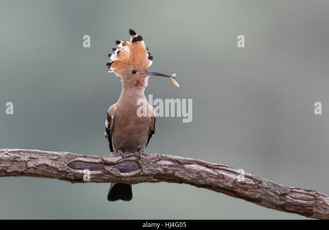 Hoopoe (Upupa epops) with worm on branch, Middle Elbe Biosphere Reserve, Saxony-Anhalt, Germany - Stock Image