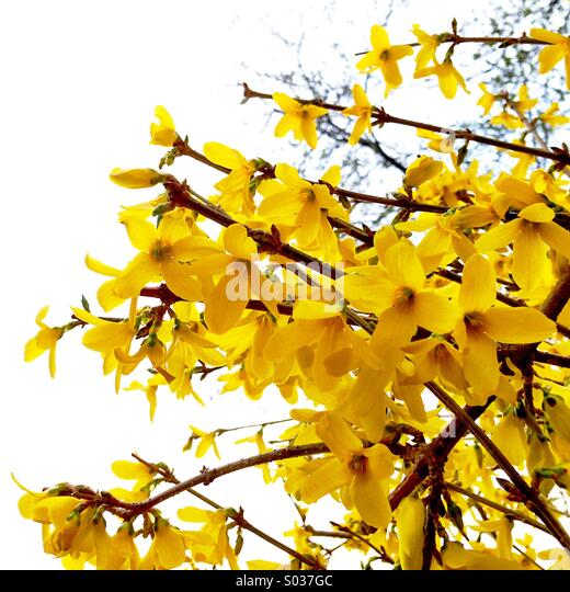 Forsythia blooming. - Stock Image