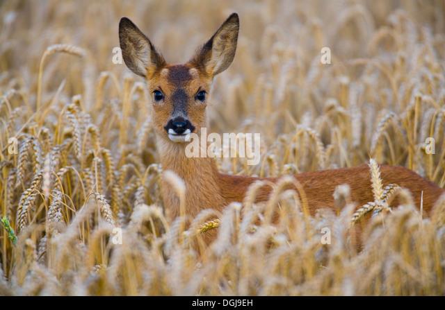 A roe deer hiding in a wheat field. - Stock Image