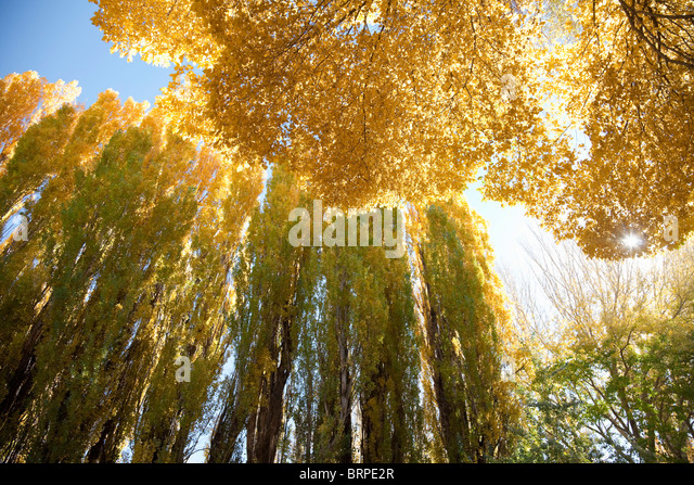 Seasonally yellow colored trees - Stock Image